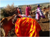 Milking Cows at the Local Maasai Village