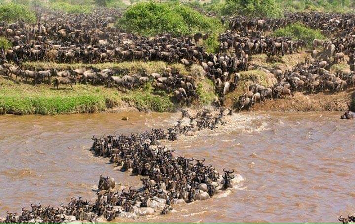 Migration Season – Wonders of the Wildebeest
